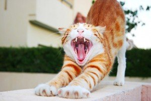 Cat Wellness: Cats And Cavities