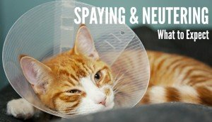 Spaying Or Neutering Your Cat: What To Expect