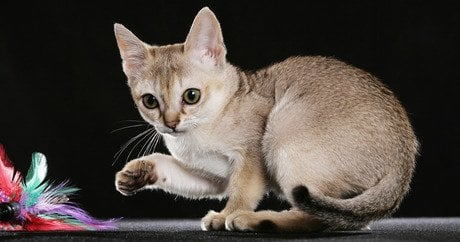 Smallest Domestic Cat Breed In The World