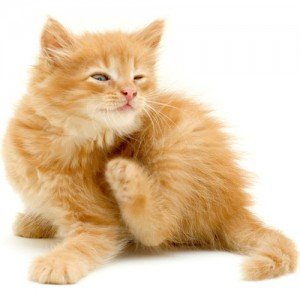 Fleas and ticks in cats