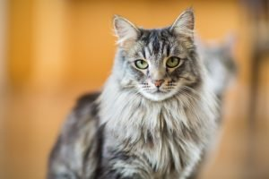 Best Maine Coon Cat Names