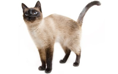 Image result for siamese cat