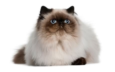 Himalayan male cat personality