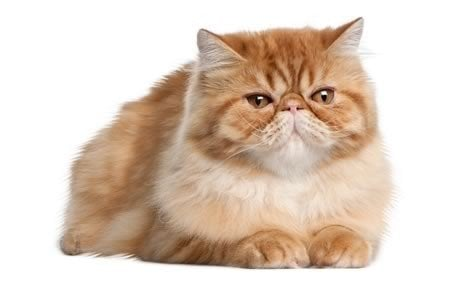 Persian Cat Breed Information Pictures Characteristics Facts