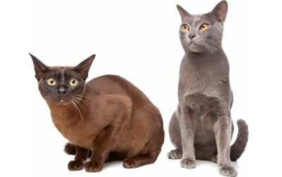 Black burmese cat personality