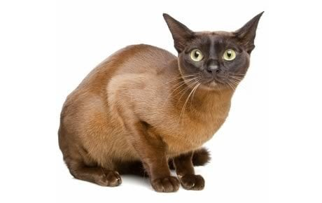 European Burmese Cat Breed Information, Pictures