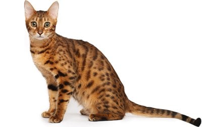 Bengal Cat Breed Information, Pictures, Behavior and Care