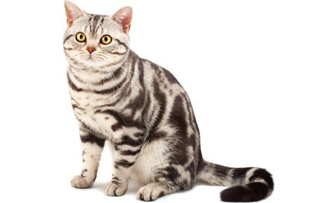 American Shorthair Cat Breed Information, Pictures, Characteristics ...