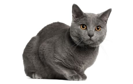 Chartreux Cat Breed Information, Pictures, Characteristics