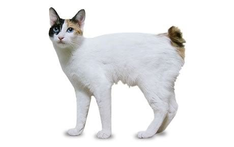 Japanese Bobtail Cat Breed Information, Pictures