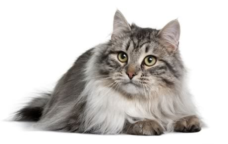 Siberian Cat Breed Information Pictures Characteristics