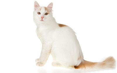 ae1d931a70 Turkish Van Cat Breed Information
