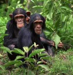 Legal issues around protecting chimps, Part I