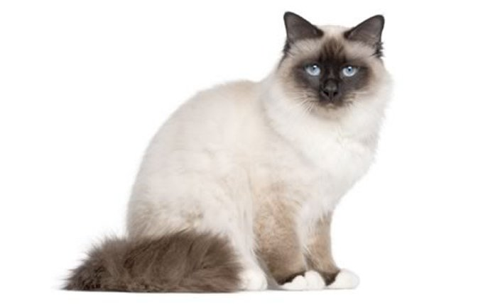 15-birman-cat-breed