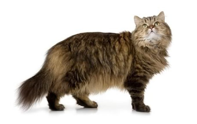 Popular Short Haired Cat Breeds