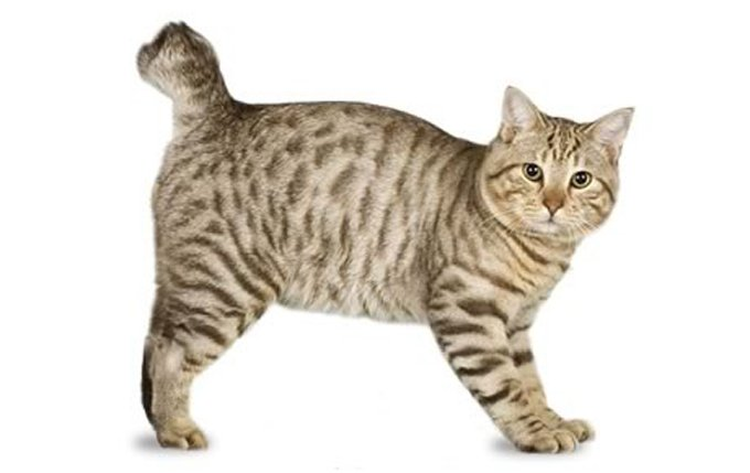 19-american-bobtail-cat-breed