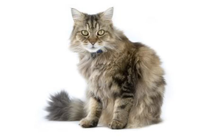 2-ragamuffin-cat