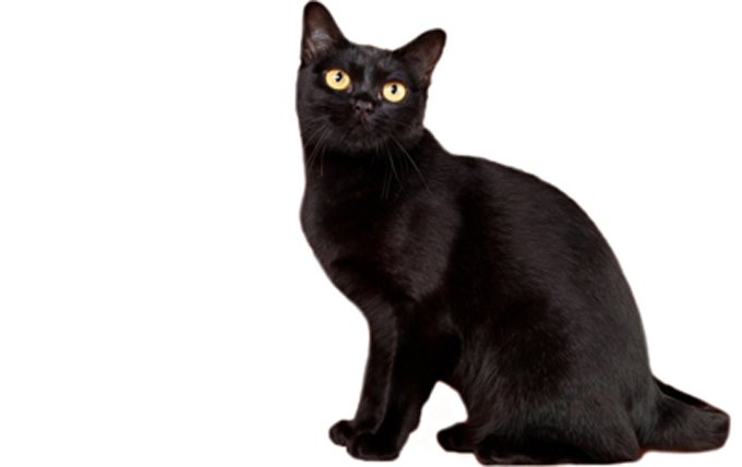 20-Bombay-cat-breed