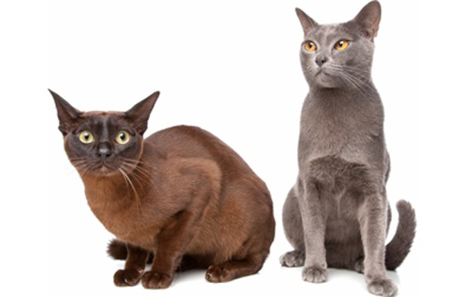 21-burmese-cat-breed-picture