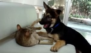 Savannah Cat And German Shepherd Puppy Hard At Play