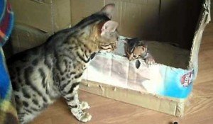 Bengal Cat Talks To Her Kittens [VIDEO]