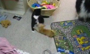 "Cat ""Plays"" With A Chihuahua"