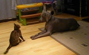 Bengal Cat And Weimaraner