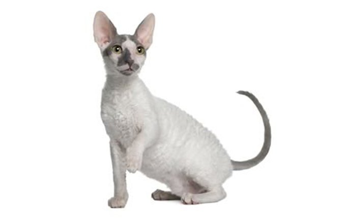 2-cornish-rex