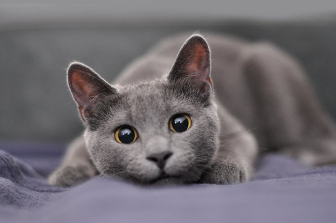 Russian blue cat with big black eyes laying on the bed.