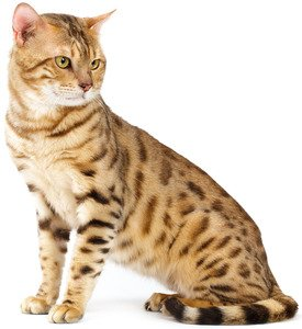 Top 10 most-searched cat breeds and mixes