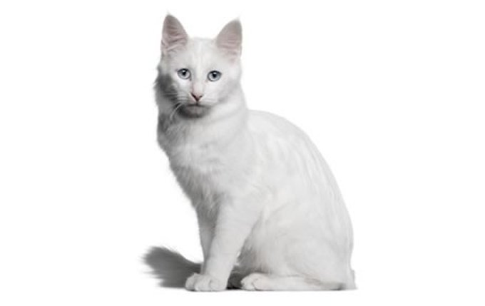 turkish-angora-cat-breed