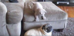 Kitten Vs. Pug [VIDEO]