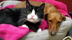 Dachshund And Paralyzed Cat Are Inseparable