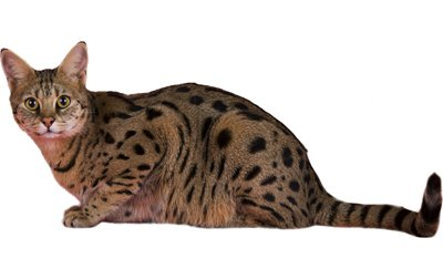 Savannah Cat Breed Information, Pictures, Characteristics & Facts