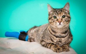 Two-Legged Cat Named Boots Defies The Odds