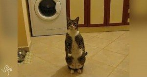 Cats Standing Like Humans [VIDEO]