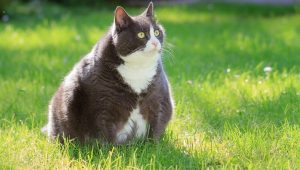 Cat Obesity: Causes & How To Tell If Your Cat Is Overweight