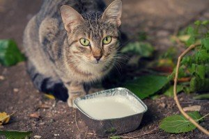 Why Milk Is Bad For Cats