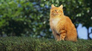 Why Orange Cats Are Usually Male