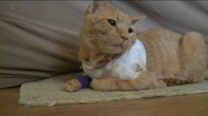 Cat Hero: Takes Bullet For Toddler
