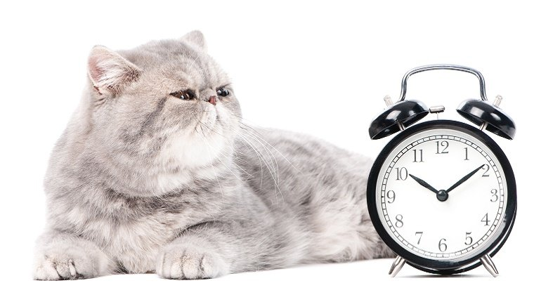 A large, grey cat sits next to an analog alarm clock.