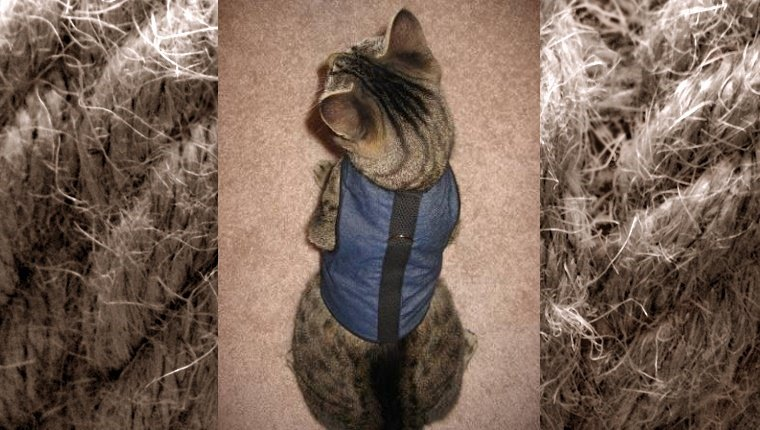 A cat sits with a blue harness.