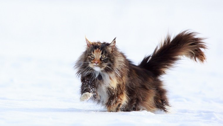 A cat with long fur walks through the snow.