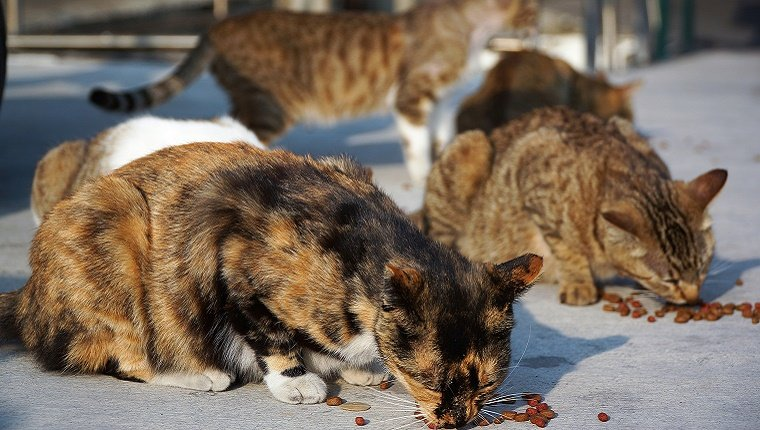 Several feral cats eat cat food off of a sidewalk.