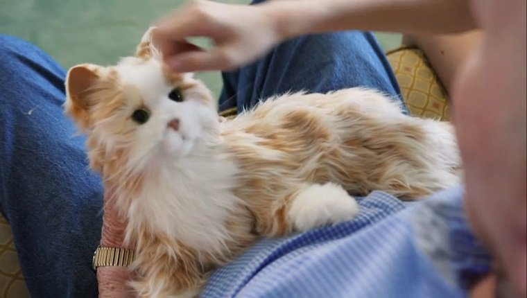 An orange and white cat toy sits in an elderly man's lap while he pets it.