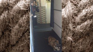 Cat Escapes Carrier On Delta Air Lines And Startles Flight Attendant
