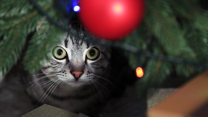 cat looking at ornament