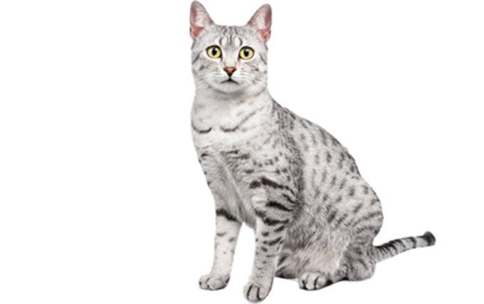 Egyptian-Mau-cat-breed