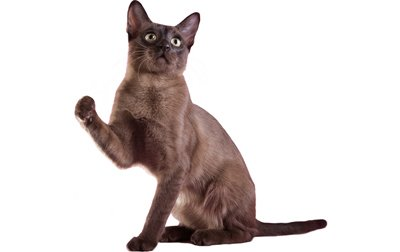 Tonkinese-cat-breed-pictures