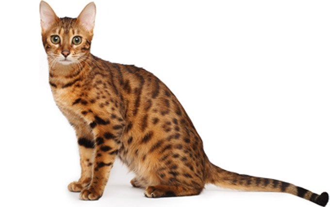 Top 23 Family-Friendly Cat Breeds - CatTime